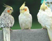 انتخاب پرنده خانگی برای خرید
