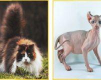 نژاد های گربه با عکس