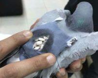 کبوتر قاچاقچی قرص های روانگردان دستگیر شد + تصاویر
