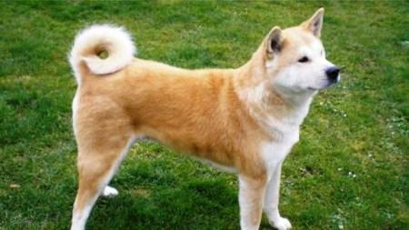 نژادهای باهوش سگ | نژادهای برتر سگ