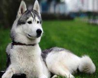 نژادهای باهوش سگ   نژادهای برتر سگ