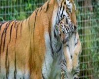حیوانات و جانورانی که توله هایشان را می خورند + تصاویر