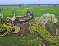 رسم نقاشی های سه بعدی در شالیزارهای برنج چین