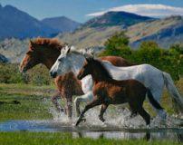 درمان شکستگی پای اسب