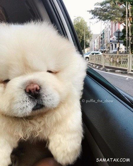 عکس سگ پاکوتاه سفید
