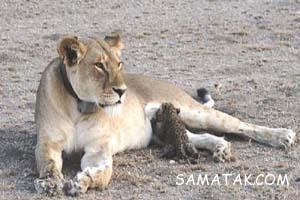 شیر دادن حیوانات به بچه هایشان