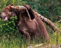 بزرگترین خرس گریزلی جهان