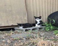 گربه عجیب دو چهره با رنگ سیاه و سفید در جهان