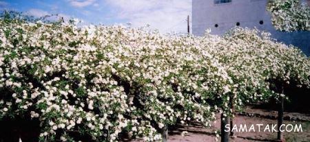 بوته رز آمریکایی بزرگترین بوته رز سفید جهان