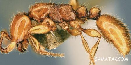 مورچه ای با ظاهری وحشتناک و شبیه به دایناسور