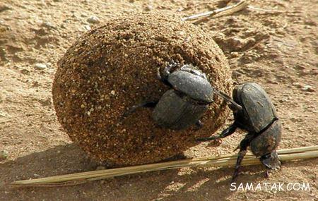 حشره بزرگ شبیه سوسک که مدفوع می خورد + تصاویر