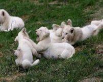 توله های شیر سفید کمیاب در چک بدنیا آمدند + تصاویر
