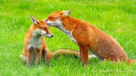روباه ها چگونه و در چه مناطقی زندگی می نمایند + تصاویر