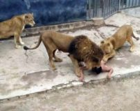 شیرهای گرسنه باغ وحش مرد جوان را خوردند (تصاویر 18+)