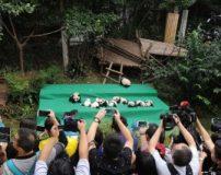تصاویری از زندگی دسته جمعی 11 توله خرس پاندا