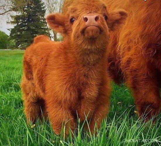 عکس های بامزه ترین گوساله تازه متولد شده جهان