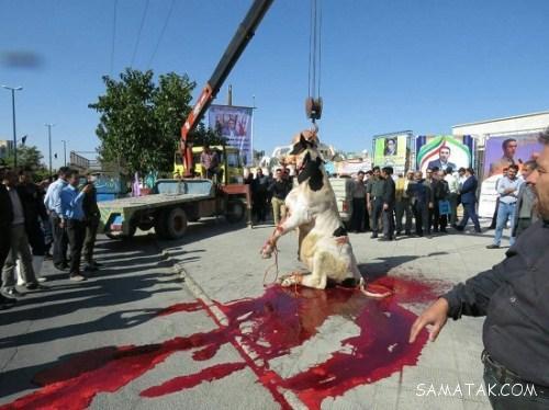 اعدام گاو و گوسفند با جرثقیل (تصاویر 18+)