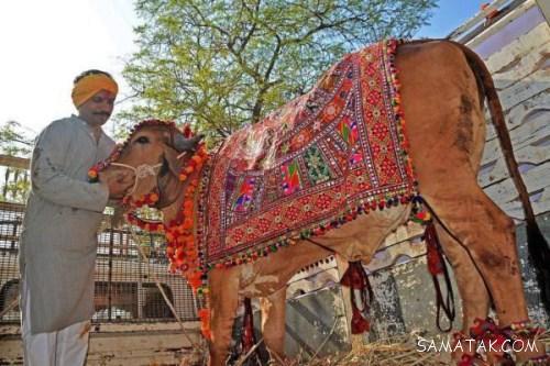 اعتیاد چندش آور مرد هندی به خوردن ادرار و مدفوع گاو + تصاویر