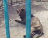 عکس های لو رفته لاغر ترین شیر جهان در باغ وحش