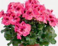 آموزش قلمه زدن، تکثیر، پرورش و نگهداری گل شمعدانی