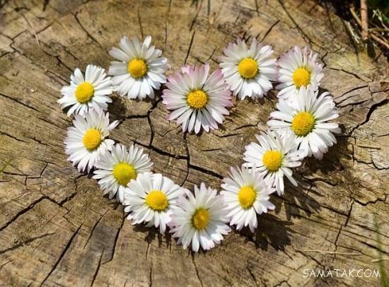 50 عکس زیبا از انواع مدلهای گل رز + عکس نوشته های گل رز
