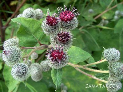 گیاهان عفونت کش | گیاهان ضد عفونت بدن