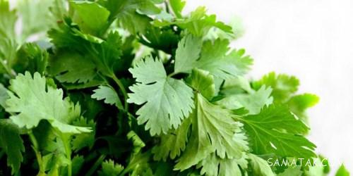 طریقه کاشت و روش نگهداری از سبزی جعفری در گلدان
