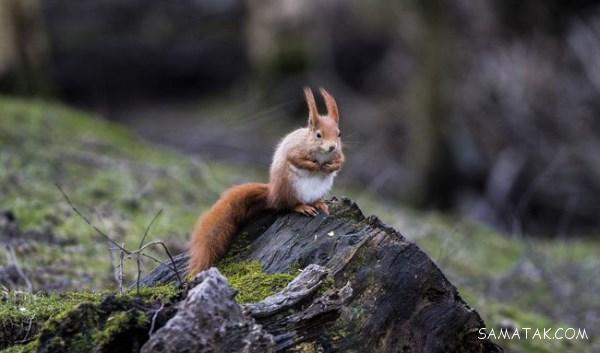 سنجاب چگونه حیوانی است | همه چیز راجع به سنجاب