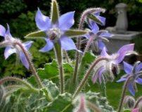 خواص و عوارض گل گاوزبان برای زنان و مردان + روش دم کردن گل گاوزبان