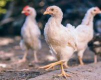 خواص پای مرغ برای مو – بارداری – پوست – ناخن – کودکان و …