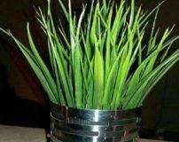 روش کاشت هسته خرما برای سبزه عید | آموزش کاشت سبزه عید با هسته خرما