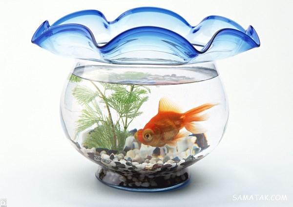 شرایط نگهداری ماهی قرمز عید | بیماریها و بهترین غذا برای ماهی قرمز عید
