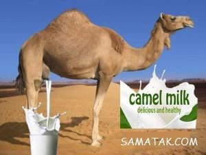 خواص شیر شتر برای ریه – پوست – دیابت – معده   تفاوت شیر شتر با گاو
