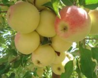 خواص سیب گلاب برای لاغری – بارداری – پوست | انواع سیب گلاب