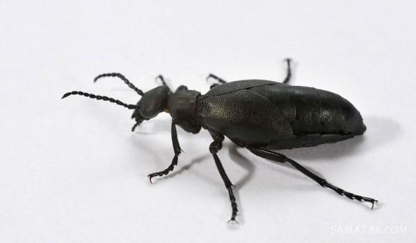 تعبیر خواب سوسک سیاه، قهوه ای، مرده، بالدار، ریز + کشتن سوسک در خواب