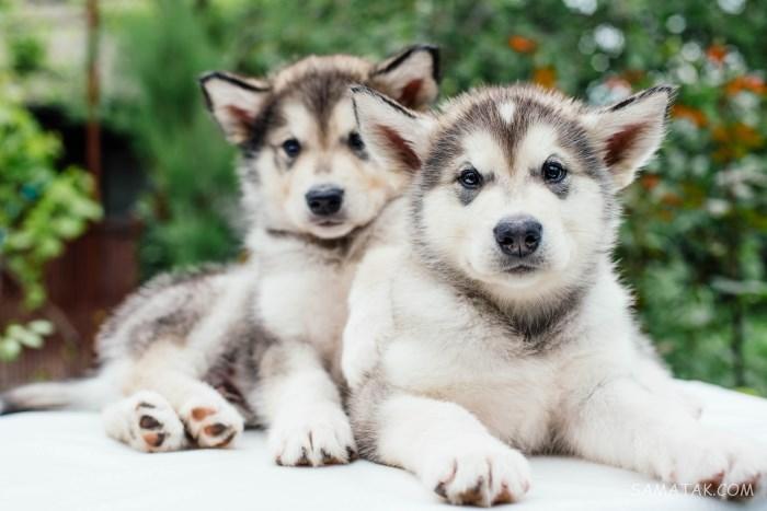 خصوصیات سگ هاسکی و انواع آن   تفاوت بین مالاموت و سیبرین هاسکی