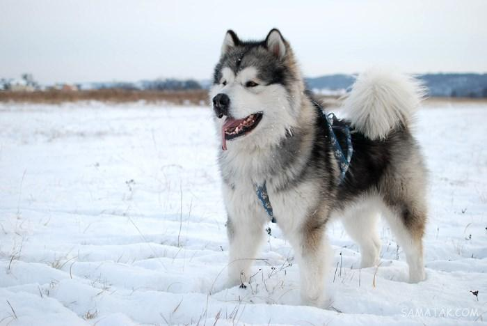 خصوصیات سگ هاسکی و انواع آن | تفاوت بین مالاموت و سیبرین هاسکی