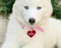 عکس سگ هاسکی برای پروفایل | عکس سگ هاسکی سفید چشم آبی