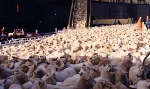 هنگام خرید گوسفند زنده به چه نکاتی باید توجه کرد
