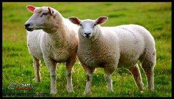 چگونه پوست گوسفند را دباغی کنیم؟